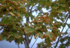 Lehtede kuivamine kloriidide liigse kogunemise tõttu. Allikas: http://www.xynyth.com/resource/icemelter-enviro/How-Salt-Damages-Trees.html