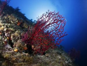 gorgonie rosse mediterraneo fondale acquario