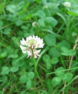 Valge ristikhein pakub meerõõmu putukatele ja silmarõõmu linnakodanikule. Seemneid saab igast hästi varustatud aianduspoest. Foto allikas: wikimedia commons